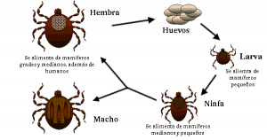 Life_cycle_of_ticks_family_ixodidae-es